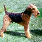 Group logo of Airedale Terrier