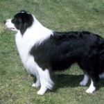 Group logo of Border Collie