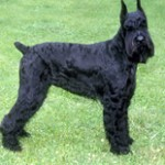 Group logo of Giant Schnauzers