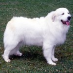 Group logo of Great Pyrenees