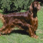 Group logo of Irish Setter