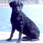 Group logo of Curly Coated Retriever
