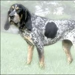 Group logo of Bluetick Coonhound