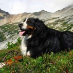 Group logo of Bernese Mountain Dogs