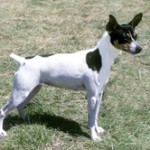 Group logo of Rat Terrier