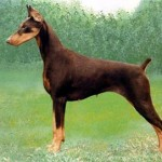 Group logo of Doberman Pinscher